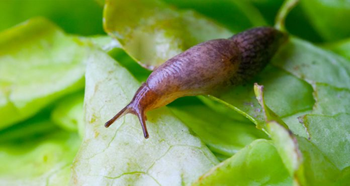 American Catches Rat Lungworm Infection